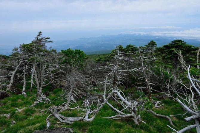 제주도 한라산에 자생하는 구상나무 숲. 많은 수가 말라 죽은 모습이다. - 국립산립과학원 난대아열대산림연구소 제공